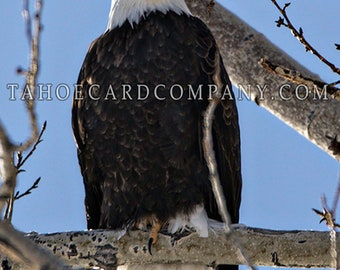 American Bald Eagle Folded Greeting Card