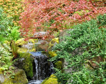 Japanese Maple with Waterfall at Portland Japanese Garden