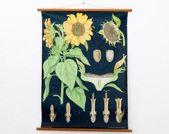 Vintage Sunflower Jung Koch Quentell Pull Down Chart German