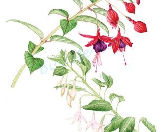 Fuchsias print