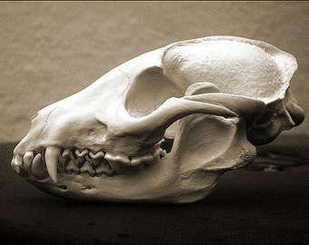 100% Real Racoon Dog Skull (Nyctereutes procyonoides) Taxidermy Collectible