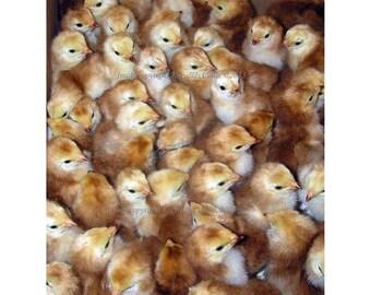 Warm Fuzzies   Box of Baby Chickens Greeting Card   Buckeye Chicks
