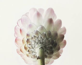 Protea; fine art photography, modern, wall art, floral photography, floral, art, photo, botanical, pink floral by F2images