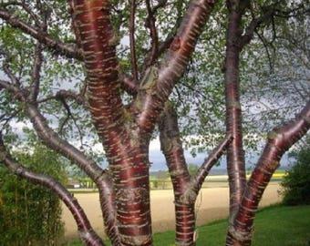 10 Paperbark Cherry Tree Seeds, Prunus serrula