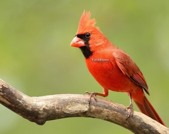 Male Cardinal, photo, bird photography, wildlife photography, songbird, home decor, wall art, free shipping, metal, shop, bird