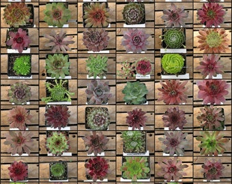 12 CoLd Hardy Hens and Chicks, Sempervivum, drought tolerant alpine plants, hardy to - 10 degrees