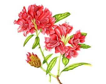 Rhododendron Blossom - Watercolor Painting