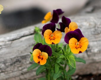 Outdoor Photography, Royal Purple and Butter Yellow Duo Tone Pansies Against Rough Wood, Wall Hanging Home Decor