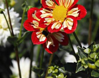 Bright Red & Yellow Dahlia