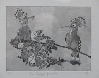 Hoopoe fasciees