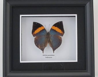 Kallima paralekta (Malayan Leafwing) Taxidermy Butterfly in Matted Shadow Box Frame - Wall Decoration
