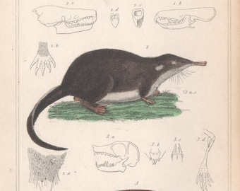 Shrew, Russian Musk Rat, Golden Mole - Antique engraving with original hand-colouring, 1837