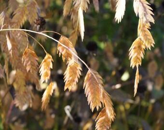 Chasmanthium latifolium (Northern Sea Oats) [30 Seeds}