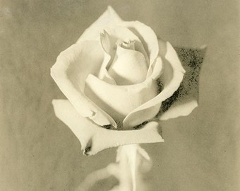 Beautiful an Artful Print of a Solitary Rose  an Alternative Processed Approach Called Lith Printing