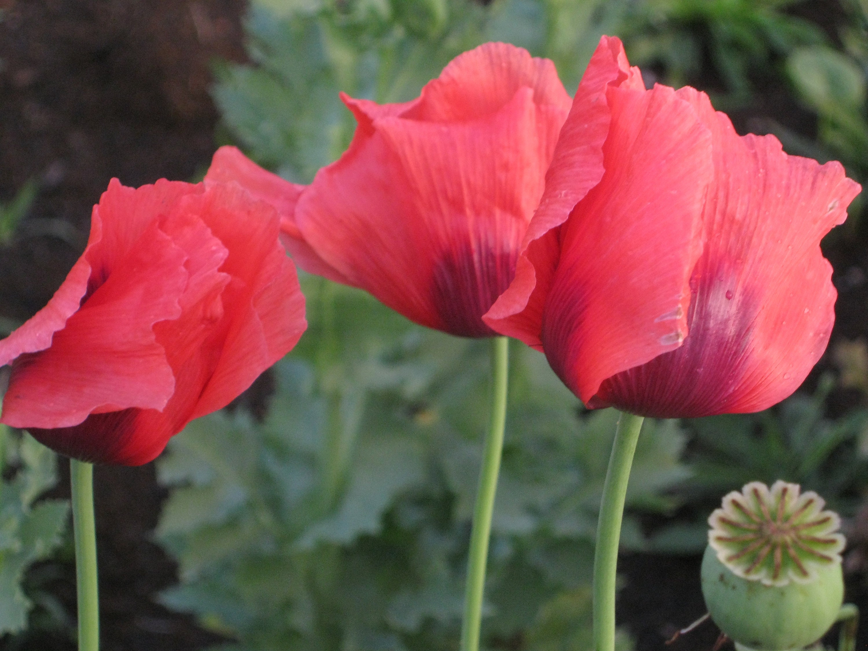 Red Turkish Papaver Somniferum Poppy Flower Seeds 1000