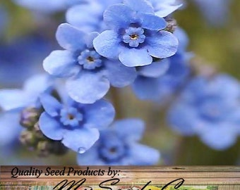 Chinese FORGET ME NOT ~ Sprays of small blue flowers - Cynoglossum amabile - Flower Seeds Zones 3 - 10, Choose From 1,000 or 8,000