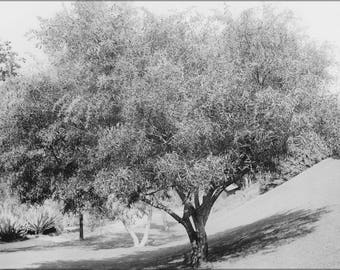 Poster, Many Sizes Available; Acacia Tree (Acacia Cyanophylla) On A Grassy Slope, Ca.1920 (-2727)