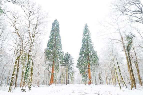SNOW TREES, Christmas Trees Print, Winter Prints, New Forest Print, Dorset Print, Snowy Forest print