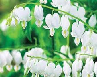 BLEEDING HEARTS, White Flowers, Heart, Hearts, Old Fashioned Bleeding Hearts, Live Plants, Live Plant. White Hearts, Perennial Flowers
