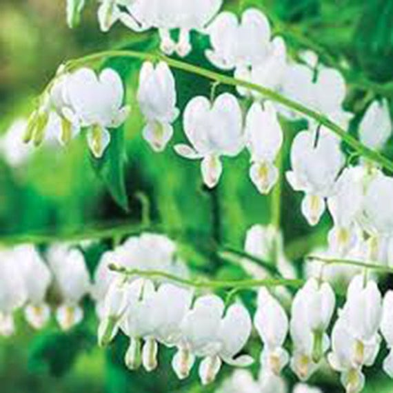 Bleeding hearts white flowers heart hearts old fashioned like this item mightylinksfo