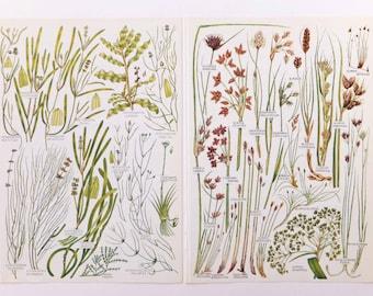 Botanical Drawings - vintage botanical grass illustrations - old botanical prints of grasses - grass pictures