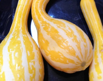 Lou's Gourd (10 Seeds, Annual, Crookneck Squash)