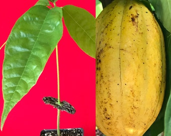 Yellow Pod Theobroma Cacao Cocoa Chocolate Tropical Fruit Tree Starter Potted Plant Seedling