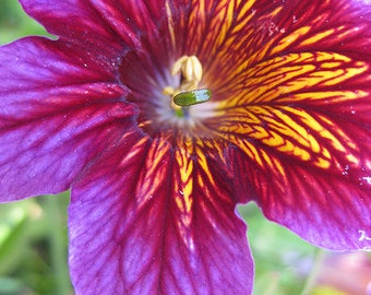 20+  SALPIGLOSSIS  ROYALE  PURPLE    Bi-color  /   Exotic  Painted Tongue Flower Seeds
