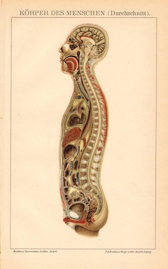 1894 Vertikalschnitt durch die männlichen menschlichen Körper