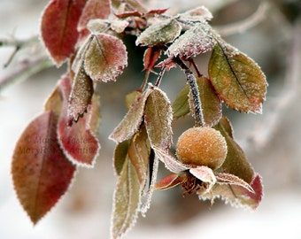 Nature Photography Frosted Rose Hip brown olive green gray fine art photo winter frost woodland rustic living room decor 7x5 14x11