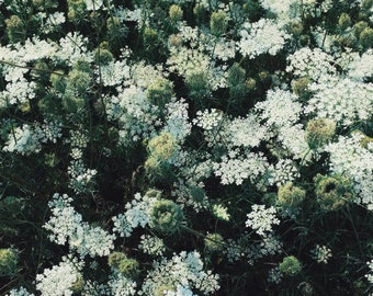 Queen Anne's Lace - Photography Art Print