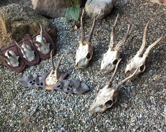 Collection roedeer antlers 1900s* czech taxidermy * trophy * by Marek Švub