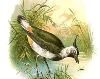 Vintage PEEWIT BIRD postcard- Digital INSTANT Download - nature avian songbird ephemera print collage supply