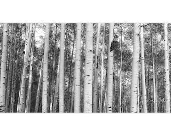 Aspen Tree Panoramic, Aspen Tree Wall Art, Tree Photography, Aspen Trees, Aspen Tree Print, Colorado Photography, Tree Print, Nature Photo