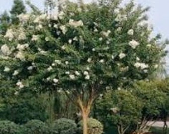 Natchez White Crape myrtle - Live Plant - Quart Pot
