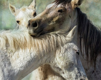 "Horse Photography ""Surrounded by Love""  Palomino Buttes Herd, Animal photograph, colts, stallions, wildlife, unframed print"