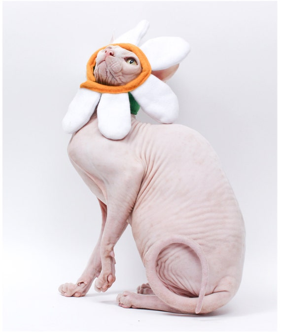 & Newly Designed Daisy Halloween Costume Cat Hat. Sphynx Cat