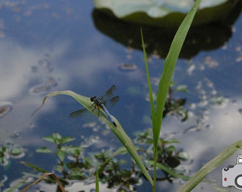 Dragonfly - 5x7 Photograph