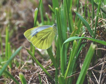 Green Veined White Butterfly | Nature Print | Photo Print | Nature Photography | insect photography | butterfly photography | Butterfly