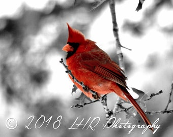 5 x 7 Photographic Print of a Male Cardinal