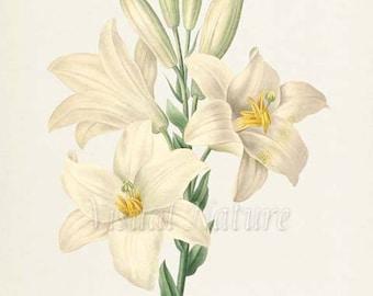 Madonna Lily Flower Art Print, Lily Botanical Art Print, Flower Wall Art,Flower Print,Floral Print,Redoute Art,white yellow, Lilium candidum