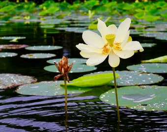 Lotus Flower and Lilly Pad on Pond Creek