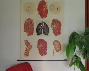 Vintage roll down medical school chart of HUMAN LUNGS. vintage anatomy chart