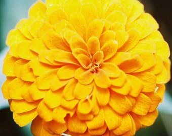 Zinnia Canary Bird (125=>16,000 seeds) Large Yellow Blooms butterfly #295