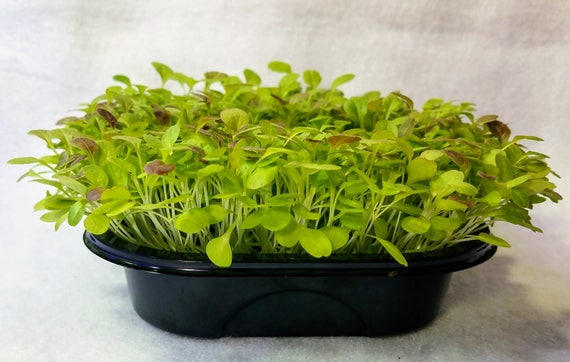 "Mighty Micro Romaine Deluxe Kit, Enough Non GMO Seed and ""Soil"" to Grow 4 Complete Trays of Super Micro Romaine Lettuce"