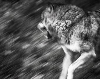 Wolf photography. Black and white nature print. Wildlife wall art. Man cave wild wolf growl home decor. Wolf photo art abstract wild animals