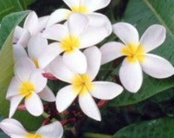 Plumeria Lei Tropical Flower Fresh Hand Dipped Incense 20 Sticks Home Fragrance Handmade Gift