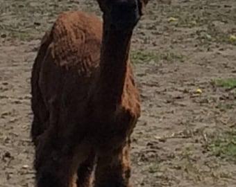20% off 100 Percent alpaca yarn 2  ply DK dark fawn