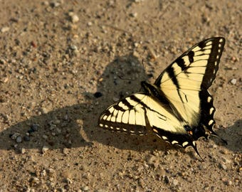 "Wildlife Photography, Swallowtail Butterfly, 11x14"" Canvas Print"