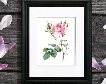 Redoute Rose Print no. 5, unframed Pink Rose art, Single Rose wall art, Pink rose home decor, Pink rose artwork by Pierre-Joseph Redoute